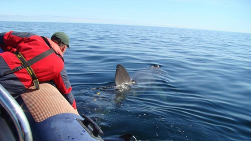 "The Irish Basking Shark Study Group describe Banba's movements as ""highly unusual"""