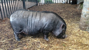 Sarah McCabe watched on as Corky, the Vietnamese pot belly boar, ate breakfast on Christmas morning at Corkagh Park Pet Farm in Dublin