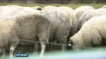 Dog attacks on sheep costing farmers 'thousands of euro'