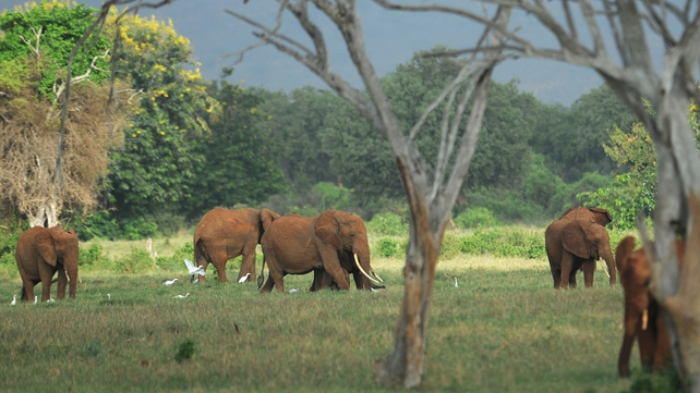 Tsavo National Park is home to about 13,000 elephants