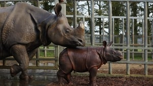 Four-week-old Greater One Horned Rhinoceros Jamil stands with her mother Behan in their enclosure at Whipsnade Zoo in Dunstable, England