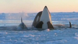 Up to 12 whales were trapped under the ice