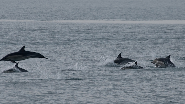 Hundreds of dolphins were spotted by the Wales-based Sea Trust (Pic: Cliff Benson)