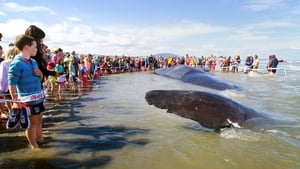 People gather behind a cordon to see a dead 15-metre sperm whale on the Kapiti Coast in New Zealand