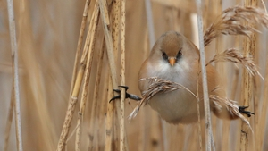 A female Bearded Tit perches on a reed among the reedbeds in Hyde Park in London