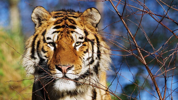 Dublin Zoo welcomes new tiger