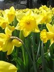 Essay:  daffodils
