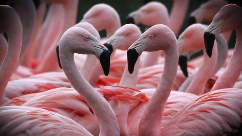 How does the song go? 'Even Chilean Flamingos do it...'