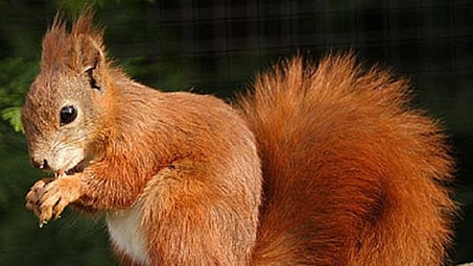Red Squirrels On Killiney Hill