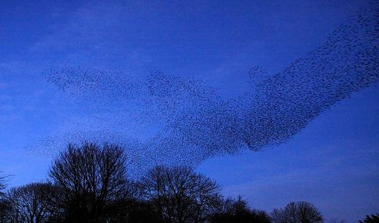 Murmurations Of Starlings