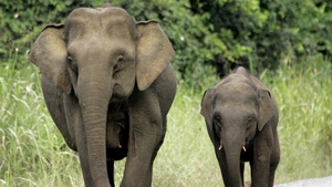 Pgymy elephants are known for their babyish faces, large ears and long tails