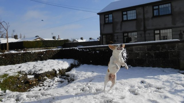 Odie catching snowballs in Callan, Co Kilkenny (Pic: Meghan Fitzgerald)