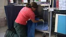 Starving penguin treated at New Zealand zoo