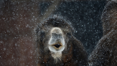 A camel stands in the snow at the zoo in Frankfurt am Main, western Germany.