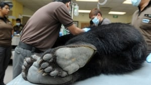 Wildlife Reserves Singapore (WRS) veterinarians inspect an anesthetized five-year-old female Asiatic black bear at the Mandai Zoological Garden in Singapore