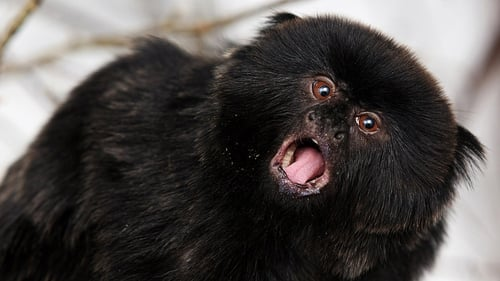 The name of the Zoo's new Goeldi's monkey will be revealed on Sunday All photos: Patrick Bolger