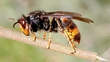 Invasion Of Asian Hornets