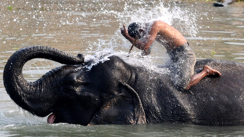 A mahout receives a dousing from his elephant ahead of the tourist season at the Pobitora Wildlife Sanctuary