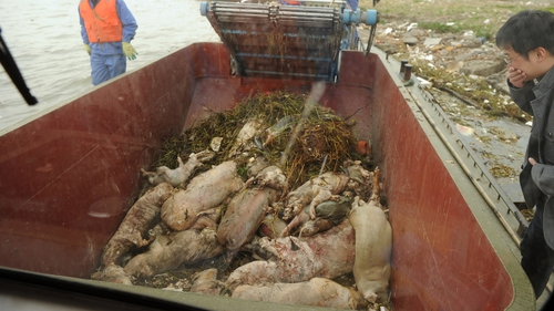 The surge in the dumping of dead pigs is believed to be from farms in the upstream Jiaxing area