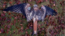 Two generations of red kite family were poisoned