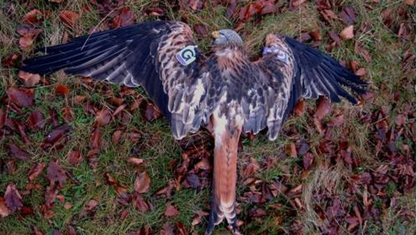 Blue Purple G was poisoned with alphachloralose in December 2011 (Pic: Golden Eagle Trust)