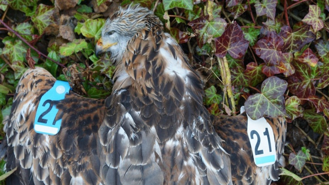 Blue White 21 was poisoned with both alphachloralose and carbofuran (Pic: Golden Eagle Trust)