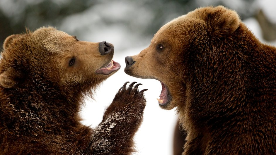 Two brown bears play in the snow at the Tierpark Hagenbeck zoo in Hamburg, northern Germany.