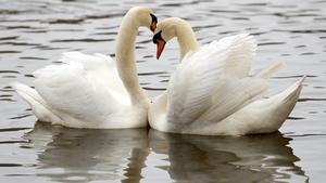 Swans swim on a lake in Hamburg, northern Germany.