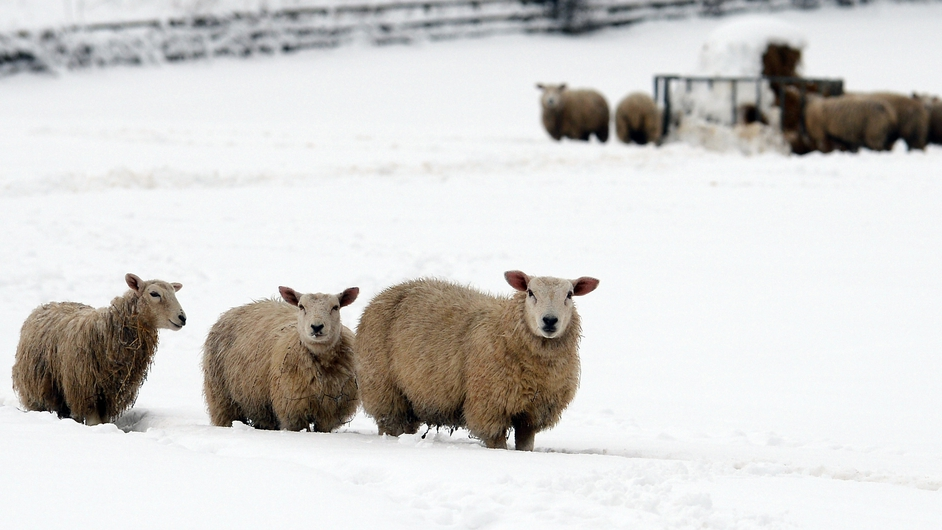 Sheep stand in a snow-covered field near Mold, Flintshire, north Wales