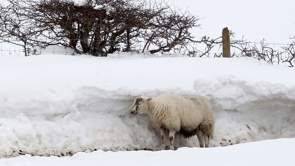 A sheep shelters behind a wall of snow in Northern Ireland