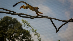A Squirrel Monkey bounds along a vine in the Squirrel Monkey Forest at the Singapore Zoo