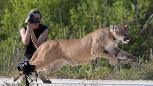 A two-year-old panther is released into the wild by the Florida Fish and Wildlife Conservation Commission in West Palm Beach