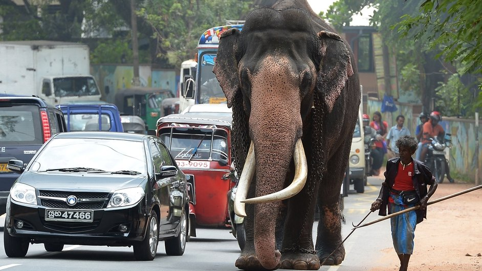 A Sri Lankan mahout or elephant trainer walks along with his elephant on a street in Colombo