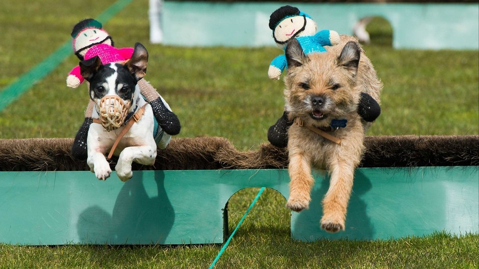 Terriers take part in the Countryside Raceday at Family Day at Ascot Racecourse