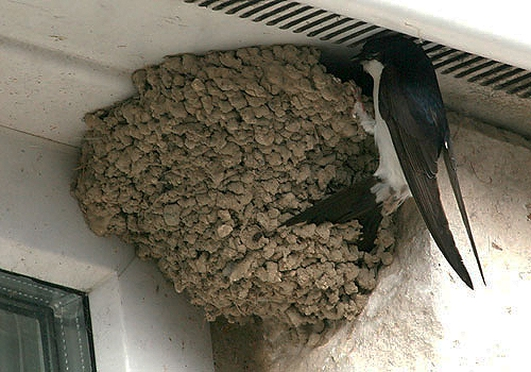 App Article: The House Martin, by Eanna Ni Lamhna