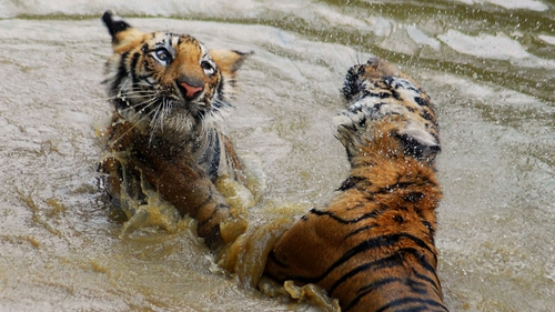 One year old tigers play in a small pond at the Indian Nandankana Zoological park in Bhubaneswar  2013.