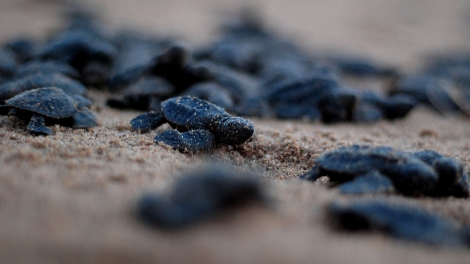 Newly-hatched Olive Ridley turtles make their way to the ocean at Rushikulya river mouth beach in Ganjam district, 140 kilometers south of the eastern Indian city of Bhubaneswa