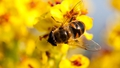 Neonicotinoids Linked To Dwindling Bee Populations In Europe