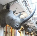 Rhino horns stolen from the Natural History Museum
