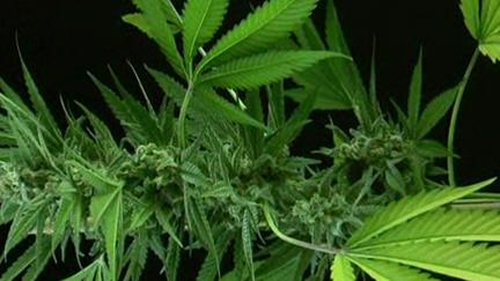 The HPRA has finished examining the scientific merits of using cannabis to help ease MS symptoms