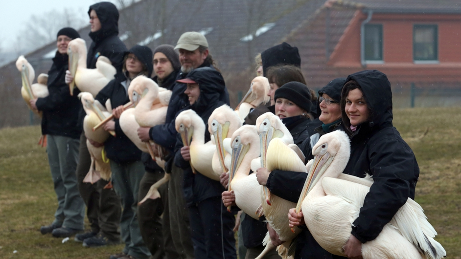 Pelicans are ready to be released into their outdoor enclosure at the bird's park in Marlow, eastern Germany
