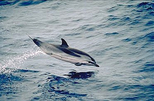 Dolphins Dying Off Italian Coast