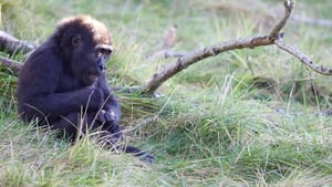 Dublin Zoo is celebrating the arrival of Kafi, a three year old female western lowland gorilla