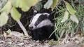 Badger Culling