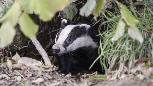Badger Culling