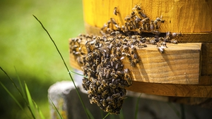 """Hives can be a hub for pests, such as the Varroa mite, and diseases like deformed wing virus (DWV)"""