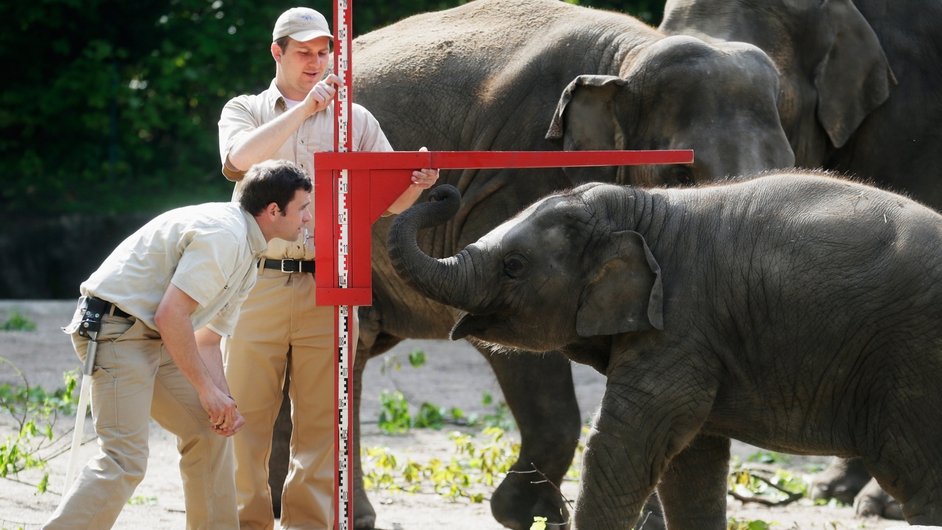 Workers at Hamburg Zoo measure a  baby Asian elephant