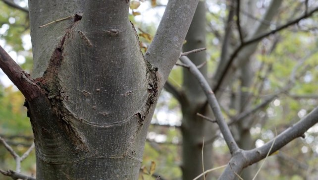 Ash dieback disease found in native Irish tree for first time