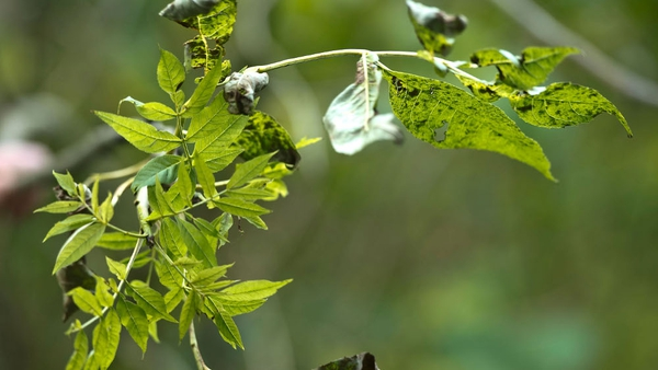 Ash dieback was first noticed in forestry in Poland in 1992