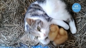 An Offaly cat has taken some ducklings under her wing